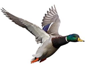 SRH's Wild Duck